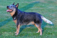 ♂WW´09 +´10 +´12 - Multi Ch. Heelersridge Emublu King