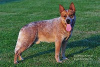 ♂Heelersridge Firetrail Baron